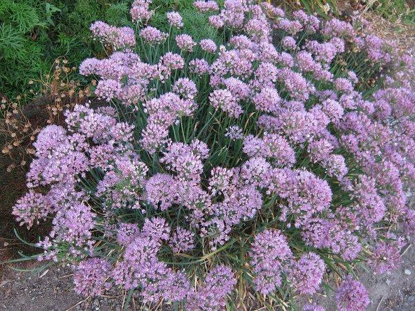 Allium 'Summer Pink'