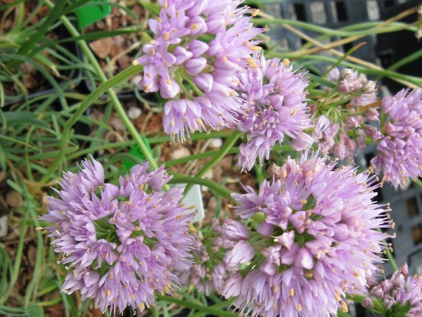 Allium senescens ssp.glaucum 'Blue Eddy'
