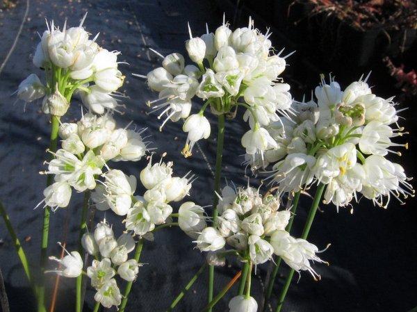 Allium thunbergii f. alba