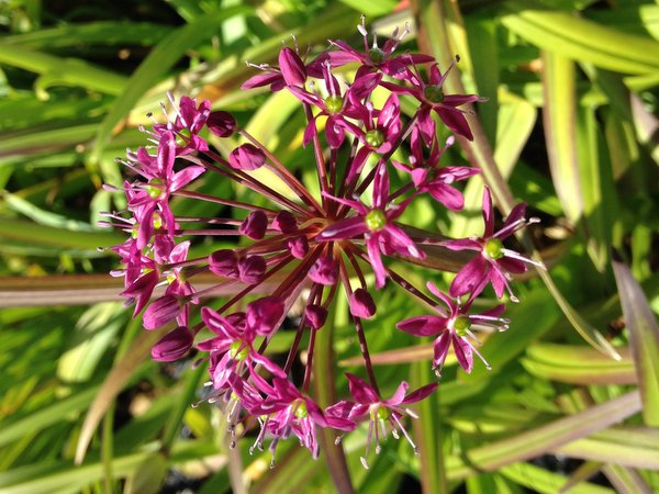 Allium wallichii CDHM 14526