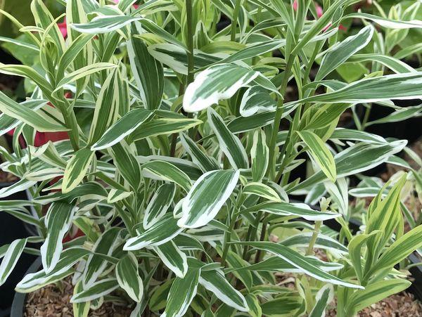 Alstroemeria 'Dayspring Delight'