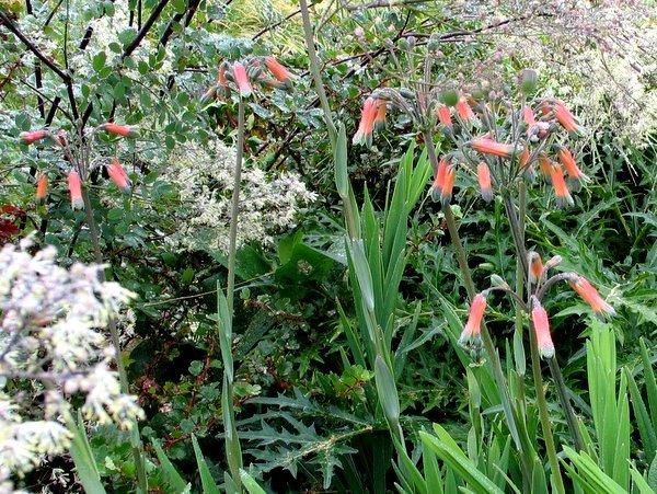 Alstroemeria isabellana, Bomarea 'Fred Meyer'