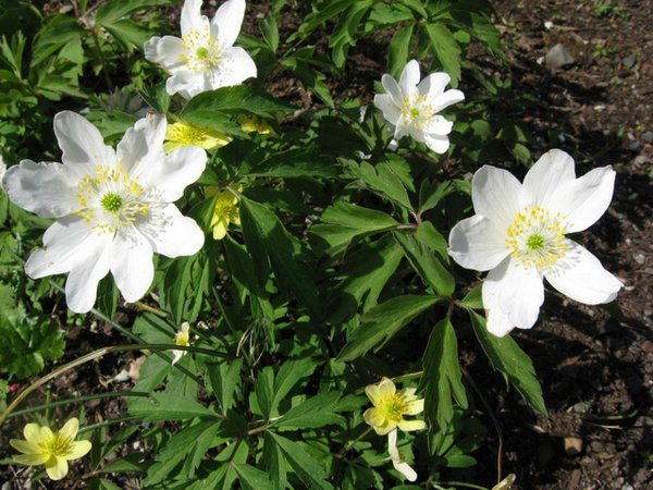 Anemone nemorosa 'Leed's Variety'