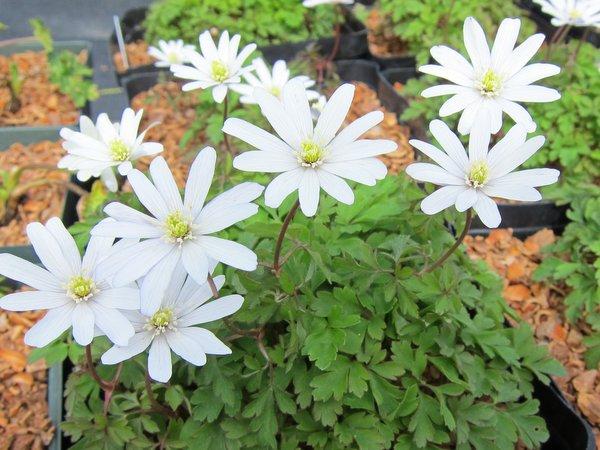 Anemone apennina 'Albiflora'