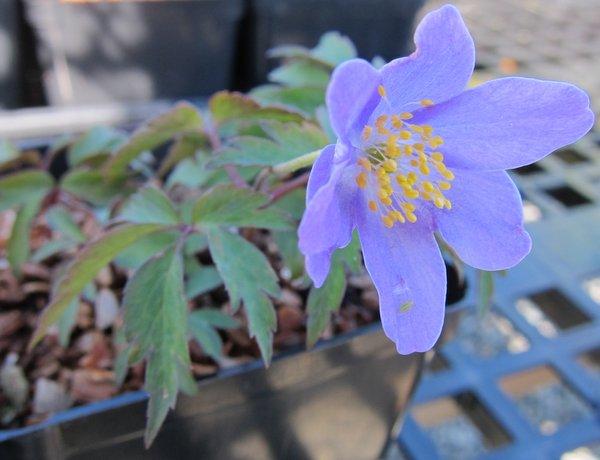 Anemone nemorosa 'Blue Bonnet'