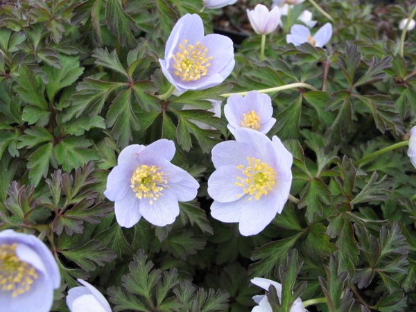 "Anemone nemorosa (""Original Blue"")"