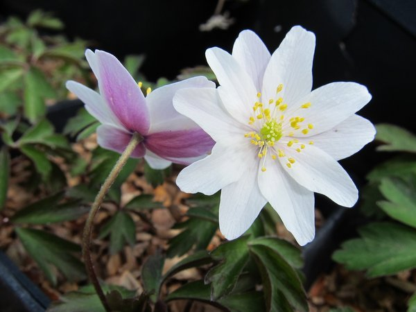 Anemone nemorosa - red back to petals
