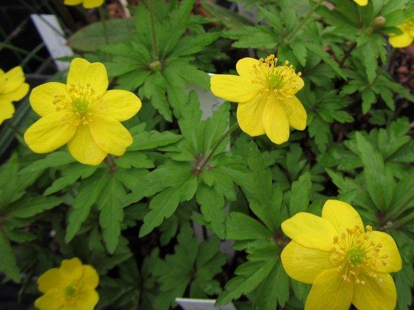 Anemone ranunculoides ssp. ranunculoides