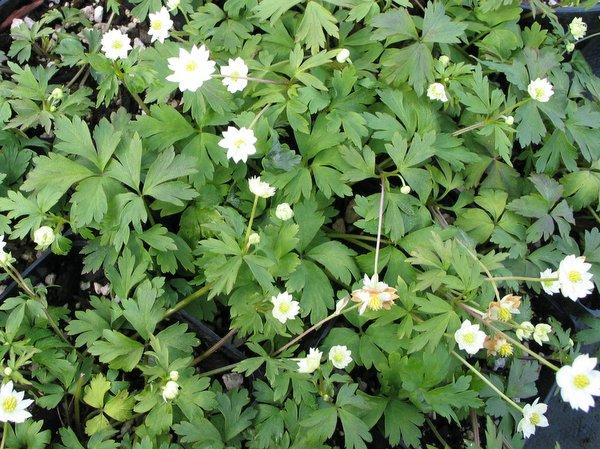 Anemone stolonifera 'Flore Plena'