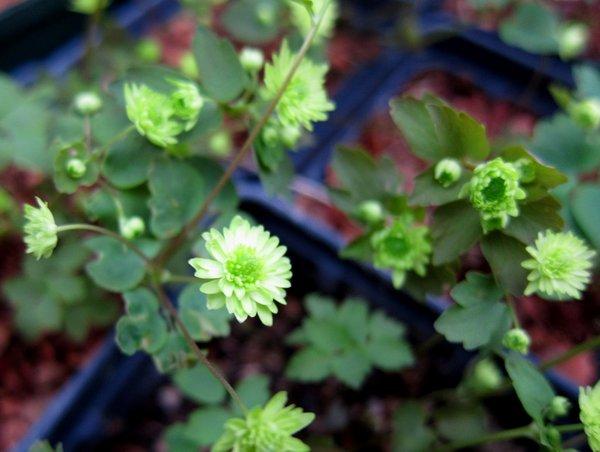 Anemonella thalictroides 'Betty Blake'