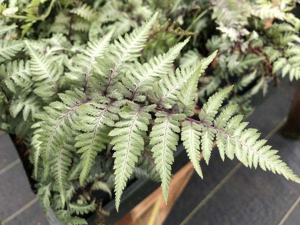 Anisocampium niponicum var. pictum 'Metallicum'  syn. Athyrium