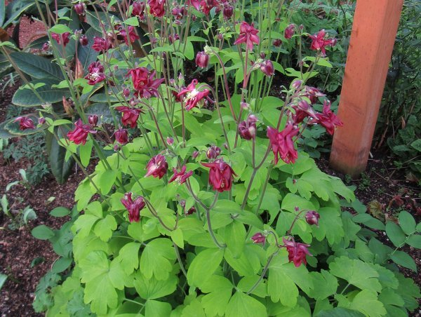"Aquilegia ""Gold Leaf"""