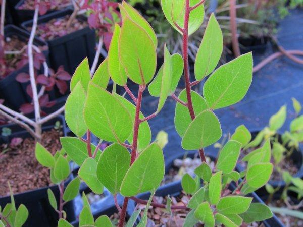 Arctostaphylos densiflora 'Harmony'