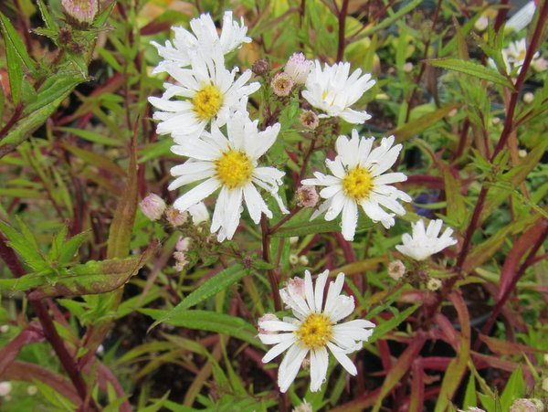 Symphyotrichum 'Mary's White' syn. Aster