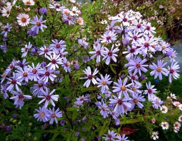 Symphyotrichum ericoides 'Blue Star' syn. Aster
