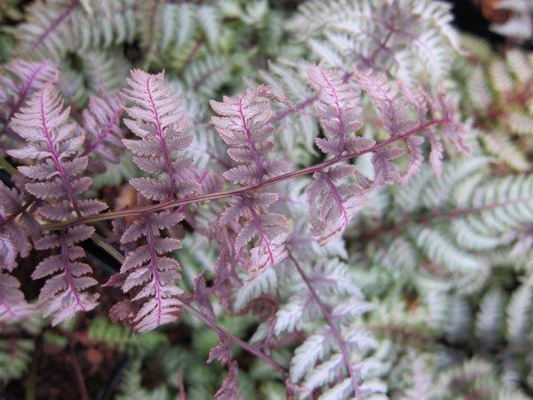 Athyrium niponicum 'Regal Red'