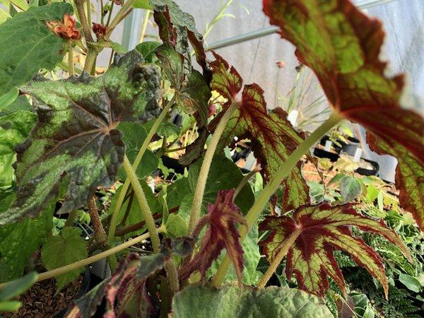 Begonia cf. palmata DJHM 13008