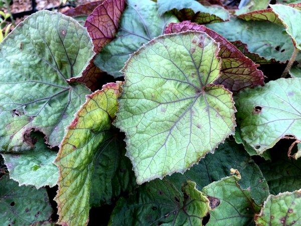 Begonia sp. DM 16014