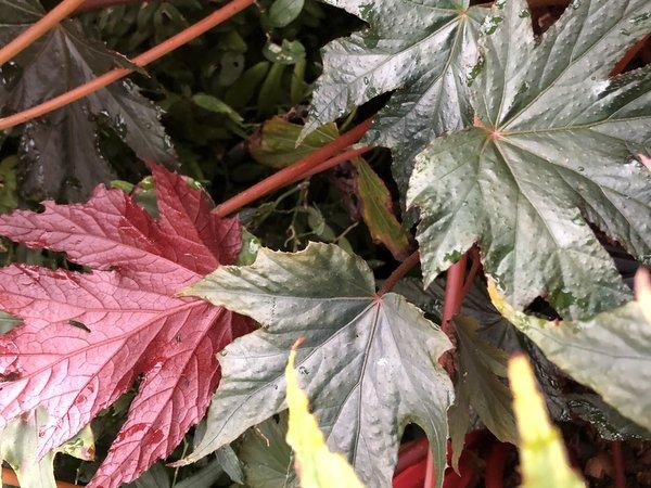 Begonia sp. U584