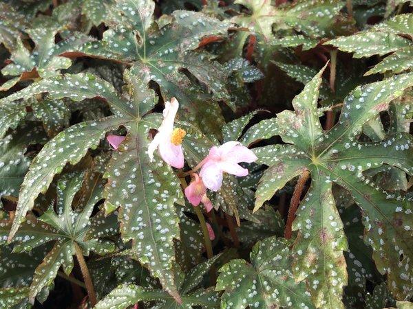 Begonia 'Chandler's Hardy'