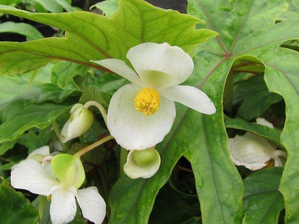 Begonia pedatifida - Hardy Begonia