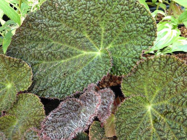 Begonia cf. sizemoreae