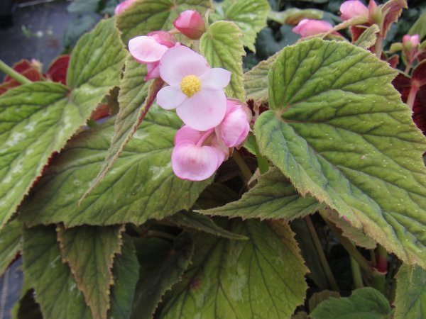 Begonia grandis - Silver Spotted Form