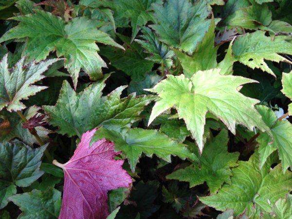 Begonia sp. cf. palmata. CGG 14138