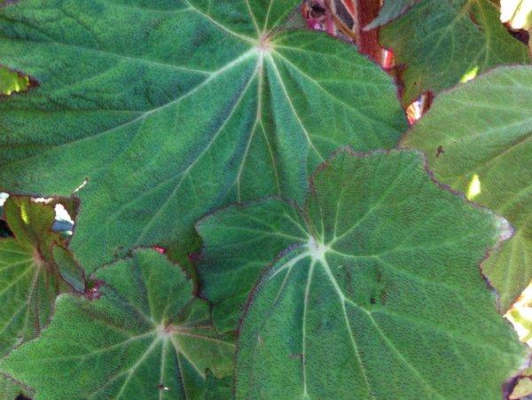 Begonia sp. cf. villifolia  OJ10-VN140