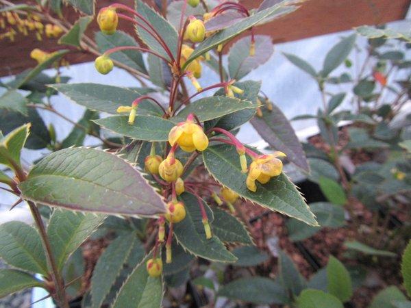 Berberis malipoensis / hypoxantha FMWJ 13290