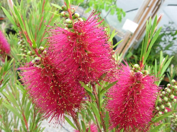Callistemon pallidus 'Eleanor'