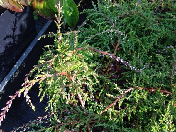 Calluna vulgaris 'Prostrata Flagelliformis'