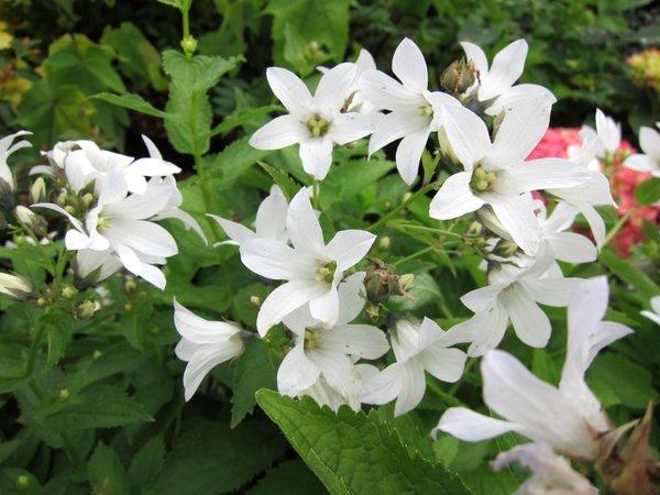 Campanula lactiflora NCE219