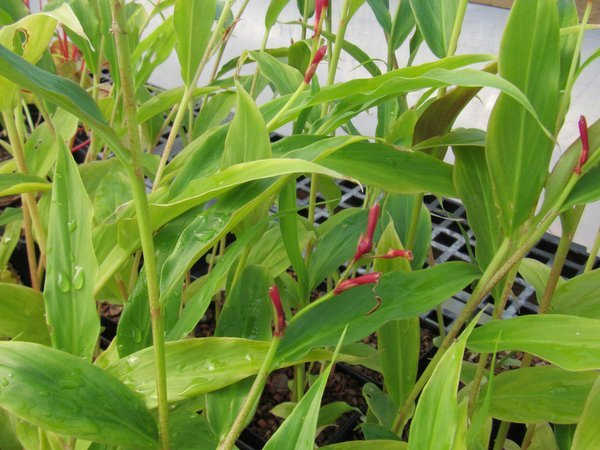 Cautleya gracilis DW04-09