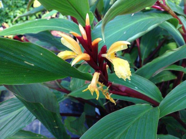 Cautleya spicata 'Arun Flame' HWJK2172