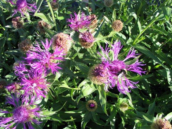Centaurea nervosa