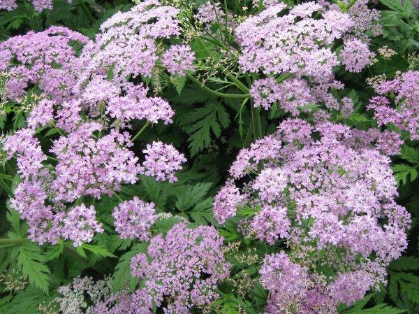 Chaerophyllum hirsutum 'Roseum'