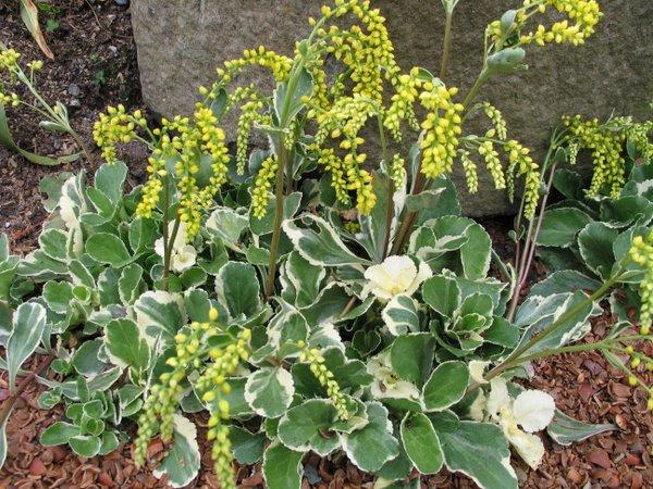 Umbilicus (syn. Chiastophyllum) oppositifolium 'Jim's Pride'