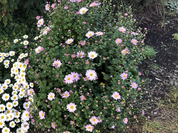 Chrysanthemum 'Sunset Blush'