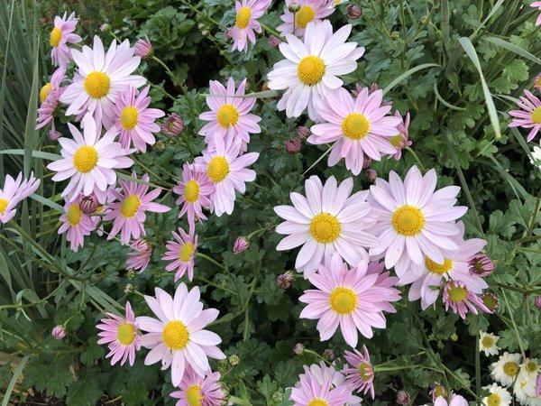 Chrysanthemum 'Sunrise Blush'