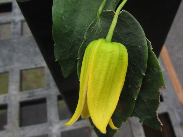 Clematis aff. repens