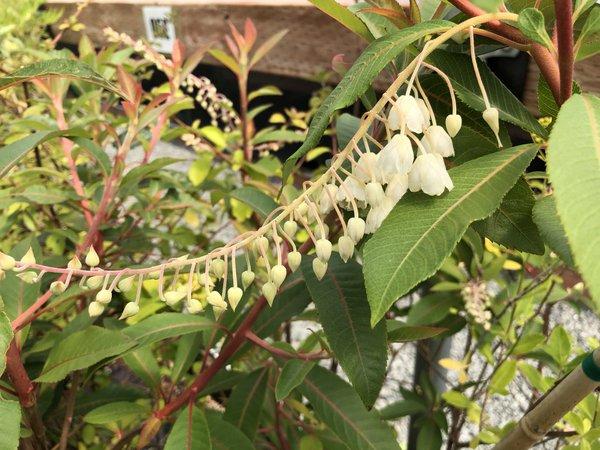 Clethra petelotii FMWJ 13405