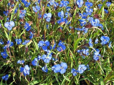 Commelina dianthifolia