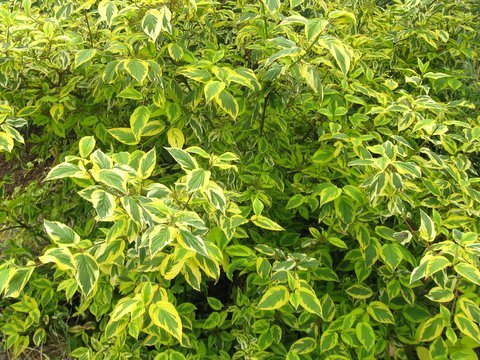 Cornus sericea 'Hedgerows Gold'