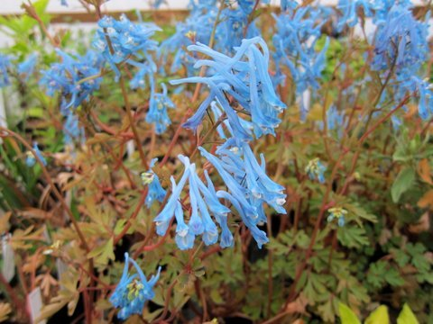 Corydalis 'Rainier Blue'