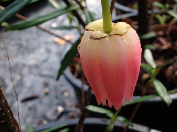 Crinodendron hookerianum 'Ada Hoffmann'