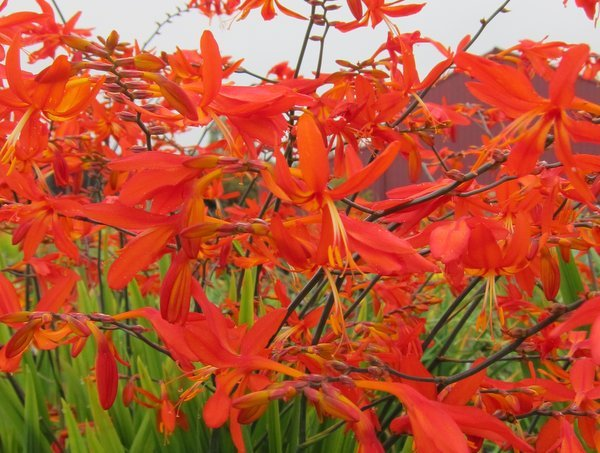 Crocosmia 'Castle Ward Late'