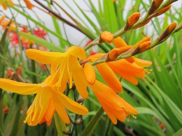 Crocosmia 'Coleton Fishacre'