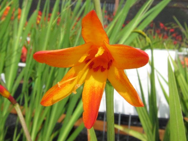 Crocosmia 'Goldfinch'