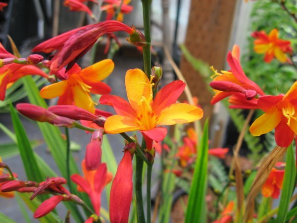 Crocosmia 'Jackanapes'